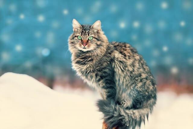 雪の中のサイベリアン