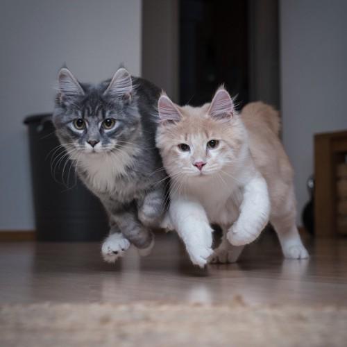 並んで走る2匹の猫