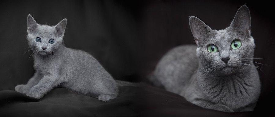 ブルーキャットの成猫と子猫