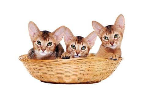 アビシニアンの子猫達