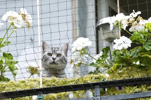 花の植えられたベランダのネット越しに外を見る猫