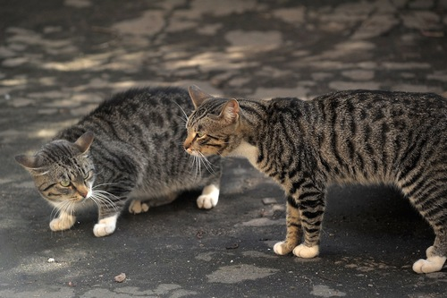警戒しあう二匹の猫