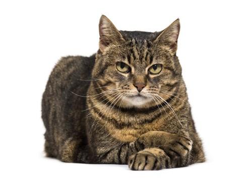 正面を向いている猫