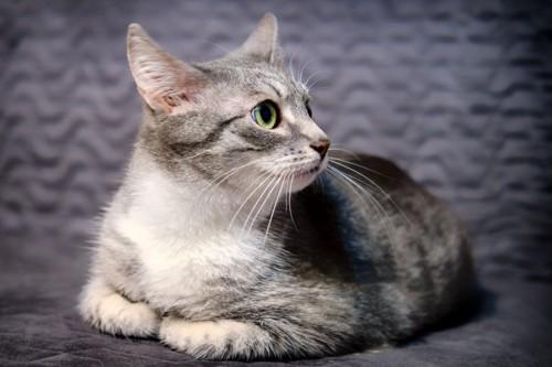 香箱座りをして横を向く猫