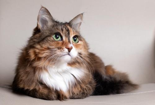 美しい長毛猫