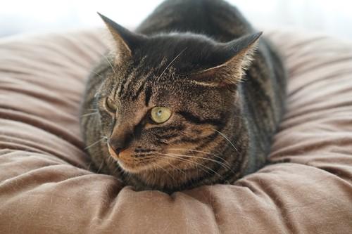 クッションの上で休んでいる猫