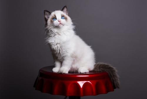 赤いテーブルの上に座るラグドールの子猫