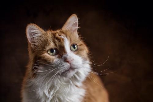 遠くを見つめる高齢の猫