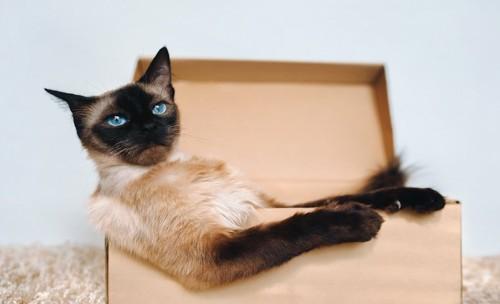 段ボール箱に入ってくつろぐ猫