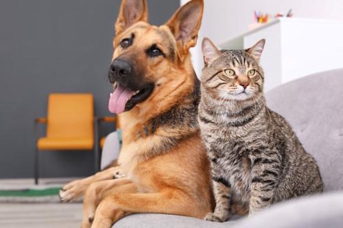 ソファに座るシェパードとキジトラ