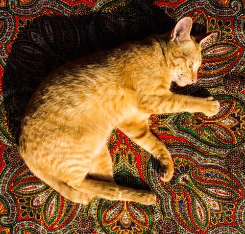 カーペットの上で寝転ぶ茶トラ猫