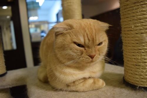 キャットタワーの上で不機嫌そうな猫