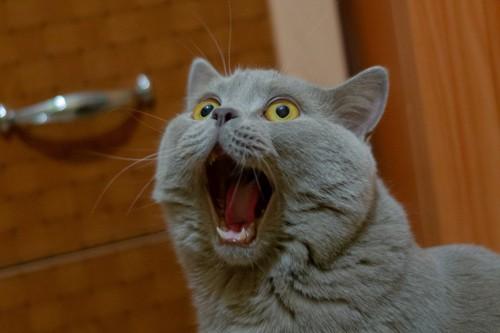 口を大きく開けて鳴く猫