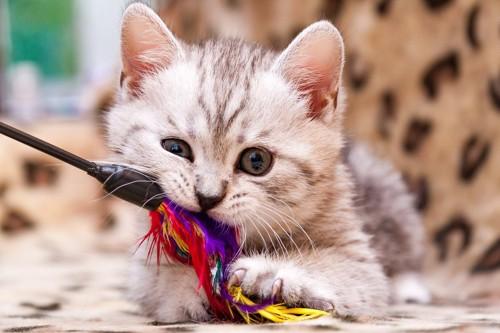 羽根付きおもちゃをかじる子猫