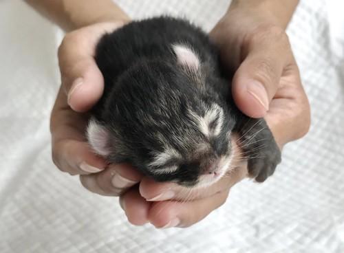 掌の中の生まれて間もないアメリカンカールの子猫