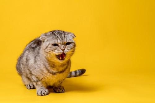 威嚇して鳴く猫