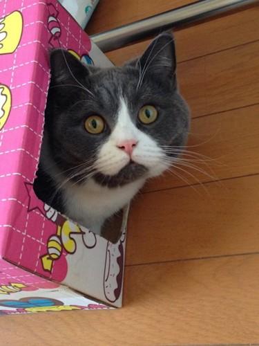 猫用のハウスから顔を出すハチワレ猫