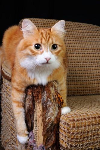 ソファーに垂れる猫