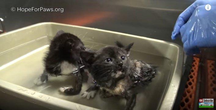 風呂に入る猫