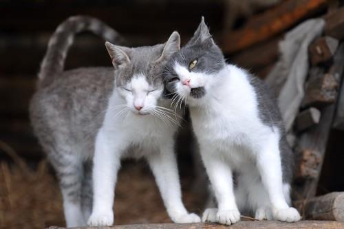 寄り添って顔を近づけ合う2匹の猫