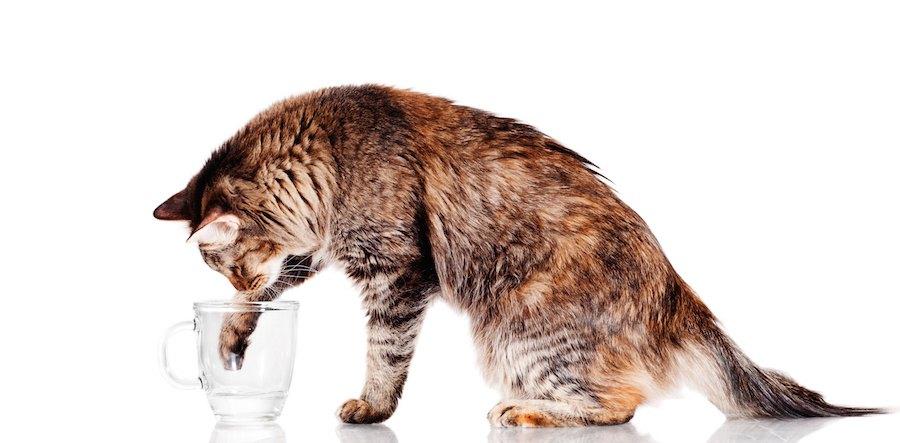 水の入ったコップに手を入れる猫