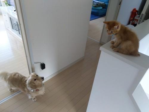先住犬との対面