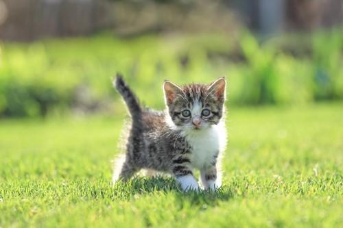 芝生の上からこちらを見つめる子猫