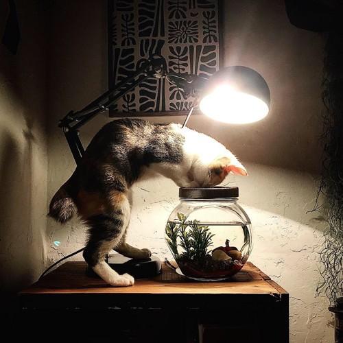 金魚を観察する猫