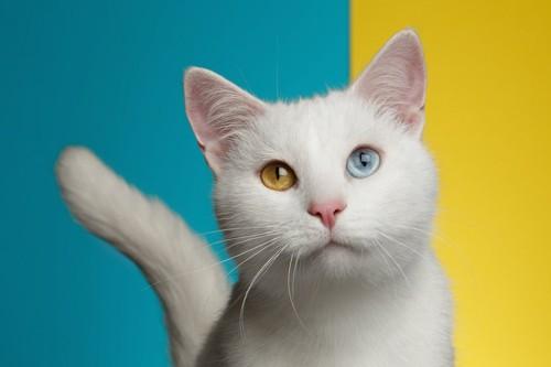 青と黄色の目をしたターキッシュバン