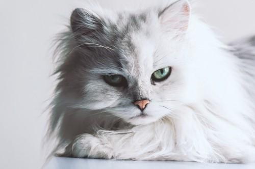 たてがみのあるカメラ目線の白猫の顔