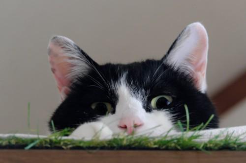 隠れて覗く猫