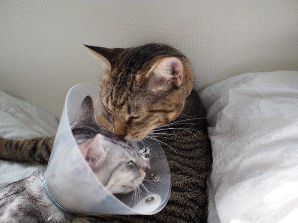 エリザベスカラーをつけた弟の顔を舐める兄猫