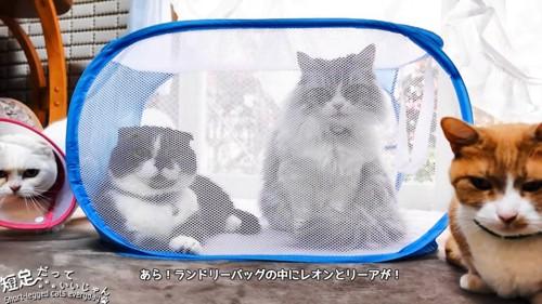 ランドリーバッグの中にいる2匹の猫