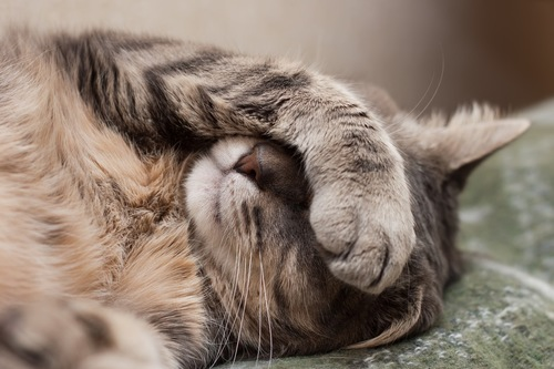 顔を覆う猫