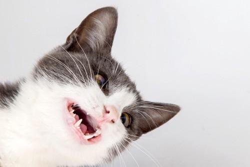 きれいな白い歯の猫