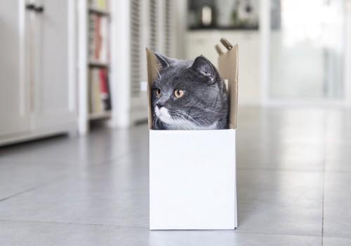 箱にすっぽりと入って横を見る猫