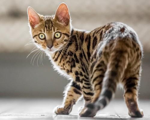 振り向くベンガルの子猫