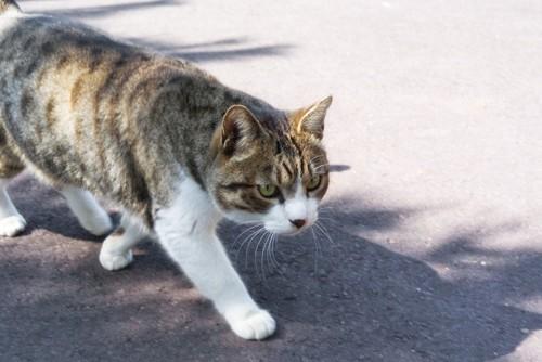 歩き回る猫
