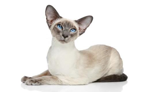 上を見ているシャム猫