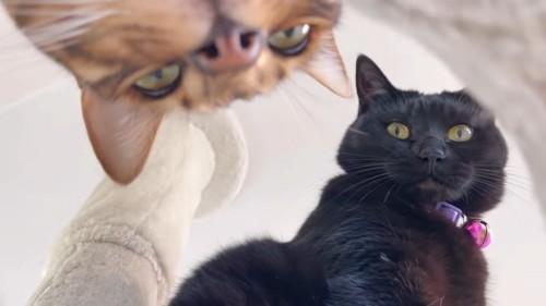下から見るベンガルと黒猫の顔