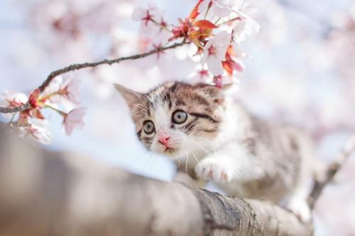 桜の木を渡る子猫
