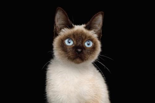 ブルーの瞳のスキフトイボブテイル