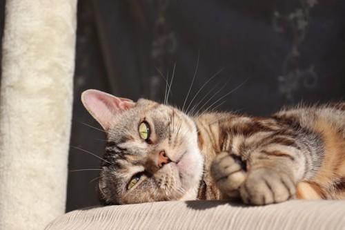 横になっている猫
