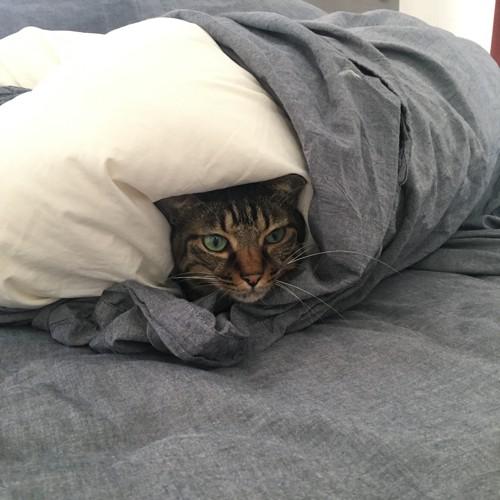 起き抜けの布団でぬくぬくする猫