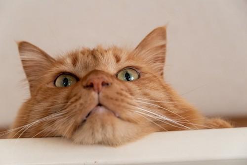 あご乗せしている猫