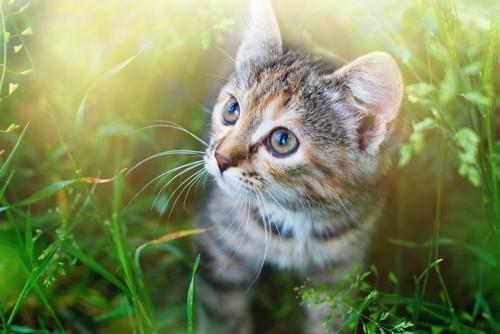 草むらの中の子猫