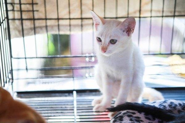 ケージに入る白い子猫
