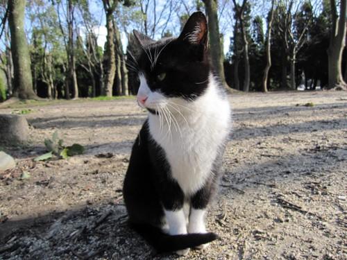 ハチワレの野良猫