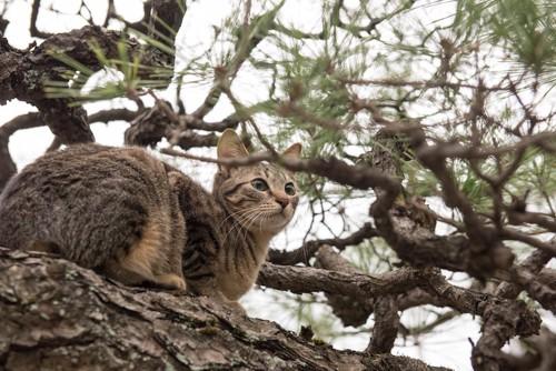 松の木に登っているキジトラ猫