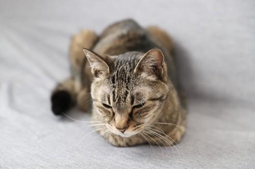 香箱座りで目が半分閉じている猫